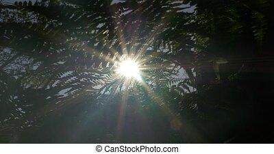 Sunbeams through fern, wee and - 4K, Sunbeams through fern,...