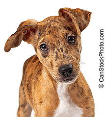 Australian Cattle Dog Puppy Mix Closeup - Close-up photo of...