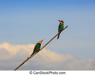 European bee-eater pair perched - View of the European...