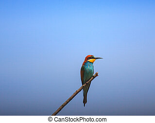 European Bee-eater - View of the European Bee-eater on...