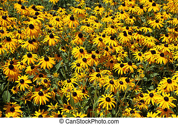 black-eyed susans in bloom - A field of yellow black-eyed...