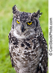 Great Horned Owl - Close up of a Great Horned Owl Bubo...