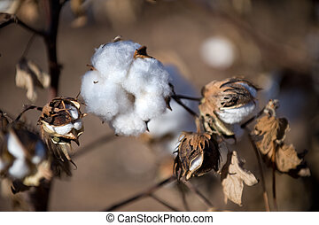 Cotton fields - Close up of cotton bolls on the fields of...