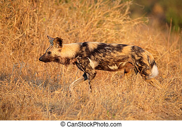 African wild dog or painted hunting dog (Lycaon pictus),...