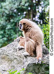Lar Gibbon - White Cheeked Gibbon or Lar Gibbon sitting on...