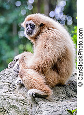 Lar Gibbon. - White Cheeked Gibbon or Lar Gibbon sitting on...