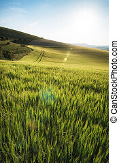 Beautiful landscape wheat field in bright Summer sunlight...