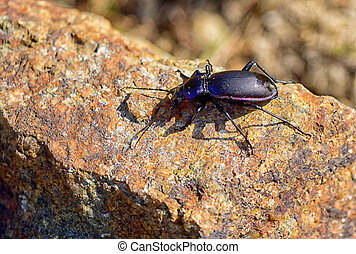 ground beetle - Macro detail of violet Ground Beetle Carabus...