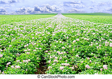 potato flowers in bright sunlight grow in a field with weeds