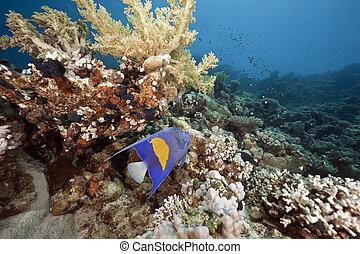 ocean, coral and arabian angelfish