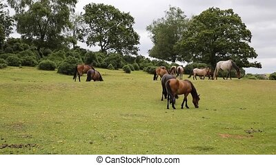 New Forest ponies Lyndhurst Hampshire England UK popular...