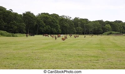 Herd of red deer in the New Forest Hampshire England