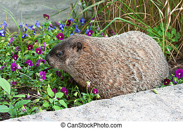 Big marmot sniffing flowers