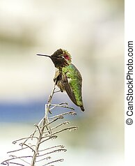 Annas hummingbird - Profile view of a small Annas...