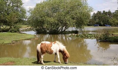 New Forest pony Hampshire - New Forest ponies Hampshire...