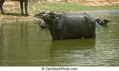 Buffalo in a large puddle looks unkindly - Video 3840x2160 -...