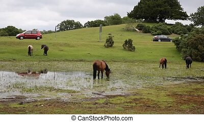 New Forest ponies by busy road - New Forest ponies Lyndhurst...