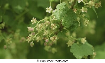 Blooming black currant. Flowers close up - Video 3840x2160 -...