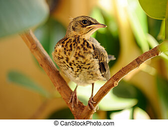 Fieldfare on Tree - A young fieldfare on a tree close-up