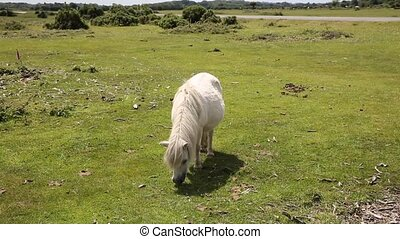 Small white pony eating grass New Forest Hampshire England