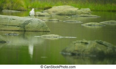 White seagull sitting on a stone at the northern lake