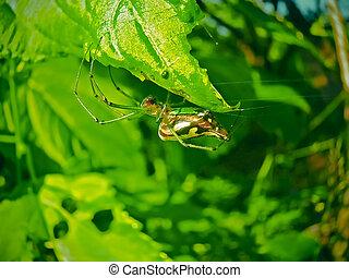 Green and Gold Bum Spider. Nephila species. Kokan,...