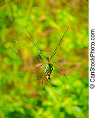 Green and Gold Bum Spider Nephila species Kokan,...