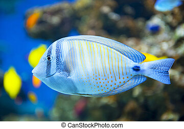 Sailfin Tang fish - Close up of tropical Sailfin Tang fish