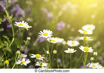 White Daisies - Photo of White Daisies Over Sun Background
