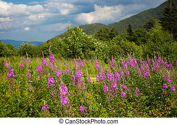 White Mountains NH - Wildflowers seen at White Mountains in...
