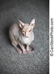君,  sphynx, 貓