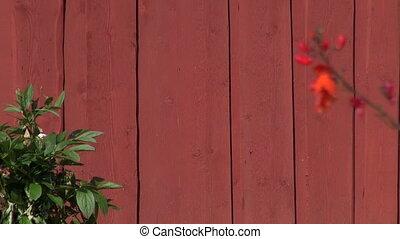 wooden ladder on farm barn wall - red wooden ladder on farm...