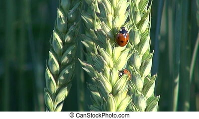 ladybird ladybugs on wheat ears - beautiful insect ladybird...