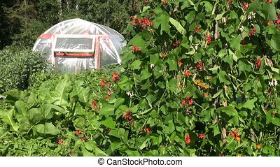 blossoming beans and greenhouse