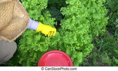 gardener picking fresh lettuce - gardener farmer picking...