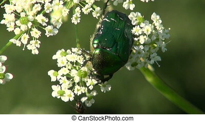 beautiful summer bug beetle chafer Cetonia aurata