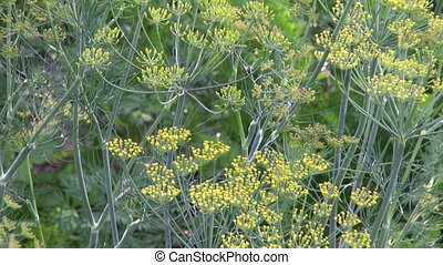 summer time Dill branches in farm garden