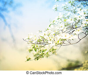 Blossoming Dogwood Tree - Flowering spring dogwood tree in...