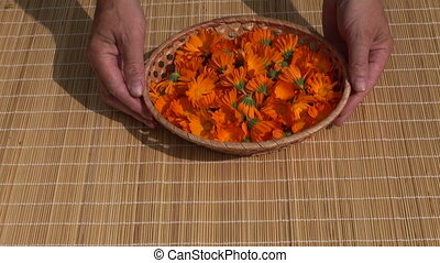 medical calendula marigold herbs - fresh medical calendula...