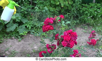 gardener spraying rose bush buds with insecticide. Greenfly...
