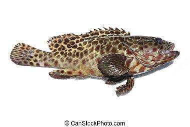 Świeży, Grouper, fish, biały