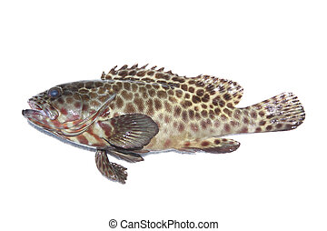 Fresh grouper fish on white. - Fresh grouper fish on white...