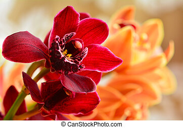 Moth Orchid - Phalaenopsis flower - Red and orange Moth...