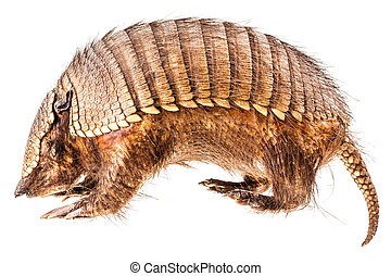 Armadillo - a stuffed armadillo isolated over a white...