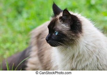 Cat Outdoors - A seal point longhair cat outdoors in a...