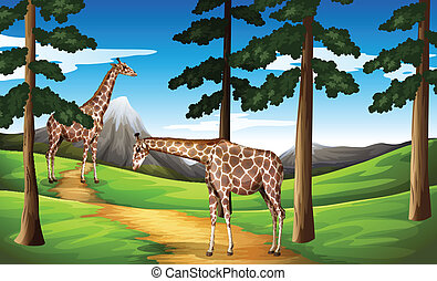 Giraffes in the forest - Illustration of the giraffes in the...