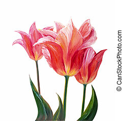 Tulips, oil painting on canvas - Tulips isolated on white,...