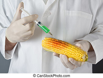 Scientist in genetic laboratory holding corn on the cob -...