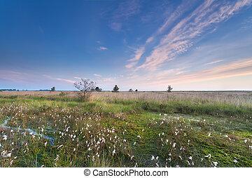 morning on marsh with cotton grass, Fochtelooerveen,...