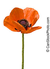 blown red poppy - A full-blown red poppy on a white...